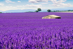 Lavender Field in Provence [EXPLORED - 15/07/2018] (Luca Quadrio) Tags: france landscape nature flower purple beauty rural valensole sky tourism agriculture countryside plant colorful summer beautiful travel scenic house violet outdoors provence color europe lavender field