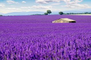 Lavender Field in Provence [EXPLORED - 15/07/2018]
