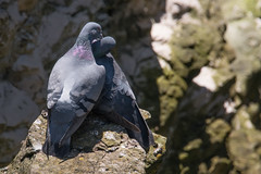 Rock Love (Andrew_Leggett) Tags: rockdove columbalivia dove billingandcooing courtship pigeons coast bird wild nature natural