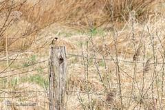 Saxicola rubicola, European stonechat, Europäisches Schwarzkehlchen (gerhard.wolff2016) Tags: bargen europeanstonechat europäischesschwarzkehlchen fliegenschnäpper moor moorlandschaft muscicapidae rehmflehdebargen saxicola saxicolarubicola singvogel wiesenschmätzer swamp swampland schleswigholstein deutschland de dithmarschen male männchen männlich jutland jutlân jylland jütland canon70200f4l canonef70200mmf40lisusm metabonestsmartadaptermarkiv sonya6300 sonyilce6300