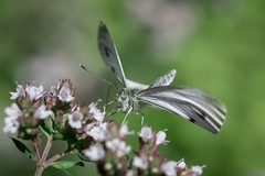 Lift Off.... (gavsidey) Tags: in flight small white butterfly macro insect ngc d500 garden challenge