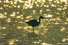 Aigrette toute en or... (Shoot Enraw) Tags: saintnazaire 15006000mmf5063 aigrettegarzette bracketting coucherdesoleil pyrénnéesorientales etang oiseau contrejour or