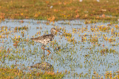 NGID2110264135 (naturgucker.de) Tags: ngid2110264135 dunklerwasserläufer regenpfeiferartige schnepfenvögel tringa vögel wirbeltiere