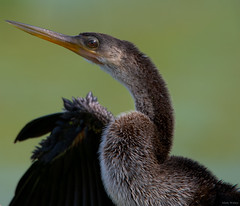 The Anhinga (mwjw) Tags: mwjw markwalter nikond850 tamron150600mm nature lawd lakeapopkawildlifedrive birds centralflorida anhinga