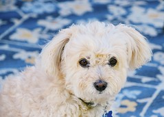 Jack💙 (kimkullman) Tags: fluffy puppy adopted mutt terrior pomeranian poodle fur canine dog jack