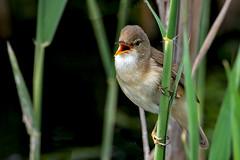 Reed Warbler (Acrocephalus scirpaceus) (DerekL1) Tags: willingtongravelpits reedwarbler acrocephalusscirpaceus derbyshire uk reedbed singing bird avian