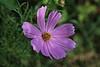 Pink Flower Macro (hbickel) Tags: pinkflower pink macrolens macro flower canont6i canon photoaday pad yard backyard