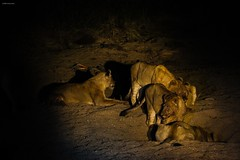 Lions in the night (Cristian Corso) Tags: predatore felino re foresta notte gruppo branco wildlife nature fauna wild landscape canon colors africa savana