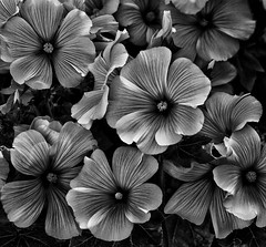 Malva's in the sunlight!🌞 (LeanneHall3 :-)) Tags: malvas malva flowers petals blackandwhite mono closeupphotography closeup macro macrophotography macroflowerlovers macrounlimited sunrays canon 1300d flowersarefabulous flowerflowerflower flowerarebeautiful