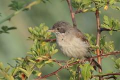 Whitethroat (Hammerchewer) Tags: whitethroat bird male wildlife outdoor
