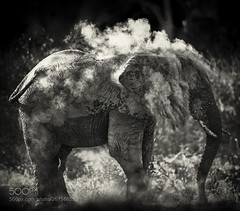 Dust (KevinBJensen) Tags: black white elephant monochrome greyscale silhouette bw ivory africa travel nature wild wildlife safari botswana