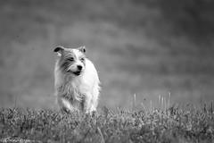 Sara. Scary face. 26/52 (Tõnno Paju) Tags: sara 52weeksfordogs pet animal jack russell terrier scary blackandwhite black white dog nikon nikkor