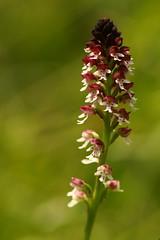 Burnt Orchid (Derbyshire Harrier) Tags: burntorchid burnttiporchid 2018 transylvania orchisustulata summer naturetrek june basravalley romania nationalparkofpiatracraiului