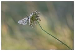Papillon gazé - Aporia crataegi (isabelle.bienfait) Tags: proxiphoto ambiance composition bétahon lépidoptère nikond7200 sigma105 isabellebienfait papillon butterfly papillongazé aporiacrataegi blackveinedwhite borboleta mariposa