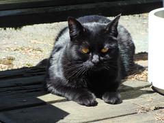Black Kitty getting some Sun (knightbefore_99) Tags: cat chat gato noir black eyes gorgeous beauty sol sun sunny balcony furry feline love hot orange
