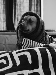 June (BurlapZack) Tags: olympusomdem5markii olympusmzuikoed75mmf18 vscofilm pack06 dallastx oakclifftx dog doggo doggy pup pupper puppy pooch hound bw mono monochrome portrait bokeh dof telephoto microfourthirds livingroom house stripes minimalist scarf fashion sartorial dogue doge