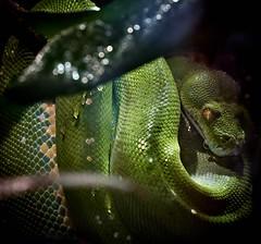 l'oeil du serpent (rondoudou87) Tags: serpent snake eye oeil nature natur wildlife wild sauvage danger green vert eau water bokeh pentax k1 rondoudou87