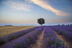 PROVENCE_2228_0618@ANDREAFEDERICIPHOTO (Andrea Federici) Tags: provenza provence lavanda valevole fioritura luglio lavander flower