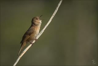 Rohrschwirl (Savi's warbler)