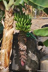 Канарський сад-город, Гомера, Канарські острови  InterNetri  0637