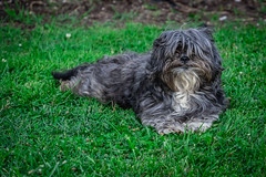 Happy Dog Chilling in Its Yard (John Brighenti) Tags: sony alpha a7 evening sunset photowalk rockville maryland md twinbrook green grass animal pet dog mutt camera 70300mm lens oss sel70300g