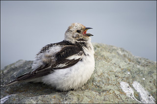 When a Snow Bunting sings....