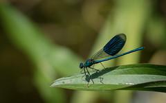 Damselfly (Matt H. Imaging) Tags: ©matthimaging closeup damselfly insect animal fauna animalplanet sony slt sonyalpha slta77ii a77ii ilca77m2 ilca77ii minolta minoltaaf70210mmf4 minolta70210f4 beercan