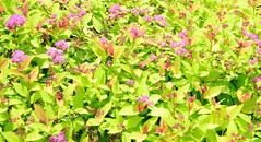Spiraea 'Magic carpet' (FanDabbyDavey) Tags: green spiraea pink d3100