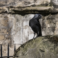 Jackdaw on tombstone/Poe: Raven (Ian@NZFlickr) Tags: jackdaw tombstone cemetery oxford uk