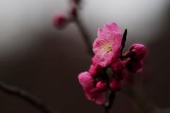 flower 1436 (kaifudo) Tags: sapporo hokkaido japan maruyamapark flower japaneseapricot 札幌 札幌市 北海道 円山公園 梅 紅梅 nikon d810 sigmaapomacro150mmf28 sigma 150mm macro