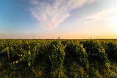 Lignes d'alcool (PaaulDvD) Tags: chalonnes loire layon loirevalley sunset vigne wine vin colors blue sun unesco