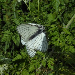 Aporia crataegi (Linnaeus, 1758) - Black-veined white (Peter M Greenwood) Tags: aporiacrataegi blackveinedwhite aporia crataegi blackveined white