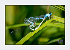 1O7A3420.jpg (kishwphotos) Tags: commonbluedamselfly nature mating insect attractions butterflies naturalworld wildlife dragonfly naturalhistory walpolepark parks damselfly anthropology faunaandflora geology