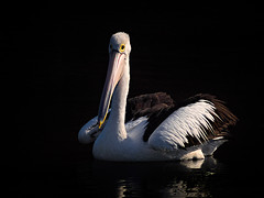 Bird Portraits with Micro Four Thirds & Adapted Lens (Muzfox) Tags: pelican australian avian light tone colleges crossing ipswich queensland australia olympus blog tips canon fd 70210mm omd em5 mark ii adapted