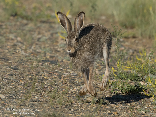 White Tailed Jackrabbit Running Di3a6911 A Photo On Flickriver