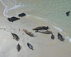 Point Lobos - China Cove (SyndromeDeStendhal) Tags: usa unitedstatesofamerica étatsunis amérique californie california bigsur seal sealion seals sealions westcoast