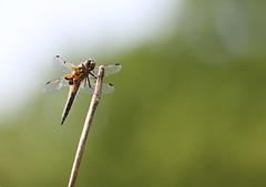 Libellula Quadrimaculata (Visual Stripes) Tags: dragonfly odonata insect invertebrate nature bokeh dof sigma150mm sigma14teleconverter depthoffield green handheld canoneos7d viervlek bokehlicious netherlands nois