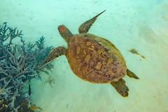Heron Island Turtle-18 (Quick Shot Photos) Tags: aquatechimagingsolutions canon canoncollective heronisland padi queensland scuba underwater snorkel bogie australia au