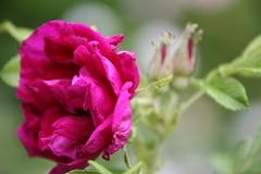 IMG_0226 Roseraie de l´Hay rose (HAKANU) Tags: sweden småland kronoberg hördasödralund countryside flower flowers rose roses rosebush rosegarden roseraiedel´hay roseraie l´hay red hörda södralund ör ormesberga