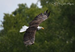Wisconsin Bald Eagles (larryvenus) Tags: eagles baldeagles northwoodseagles townsendwisconsineagles lakewoodwisconsineagles reservoirpondeagles birdsofprey nikon nikond500 nikonphotography tamron tamron100400mmlens tamron150600mmlens eaglesinflight