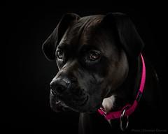 Carbone (Christian Dionne) Tags: carbone dog chien nahak nikon d800 nikkor 105 14 portrait alienbees speedlight photography studoi