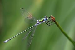 Emerald damselfly ~ Lestes sponsa {explored} (Cosper Wosper) Tags: emeralddamselfly lestessponsa priddy mendips somerset explored