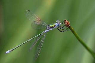 Emerald damselfly ~ Lestes sponsa {explored}