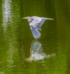 Sevenoaks flying Grey Heron