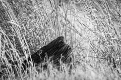 grains (fallsroad) Tags: tulsaoklahoma arkansasriver riversidepark blackandwhite bw monochrome wood driftwood grass