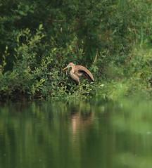 1S9A6158 (saundersfay) Tags: heron purple bird rare sighting sevenoaks