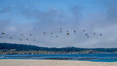 Fuji-X-E3-DSCF1289-20180720 (Drew Saunders) Tags: beach bird california carmel carmelriverstatebeach carmelbythesea ocean pelican seabird