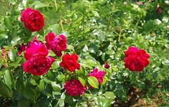 JLF17928 (jlfaurie) Tags: jardin garden bagatelle paris france francia parc parque 22072018 mpmdf jlfr jlfaurie mechas roseraie fleurs roses rosas