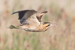 Bittern May 2018 (jgsnow) Tags: purple bird waterbird heron bittern flight