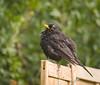 Just out of bath (hedera.baltica) Tags: blackbird commonblackbird eurasianblackbird kos koszwyczajny turdusmerula